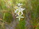 Wahlenbergia axillaris