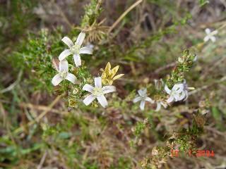 Wahlenbergia longifolia