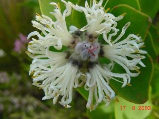 Paranomus sceptrum- gustavianus