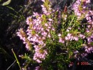 Erica nudiflora
