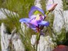 Disa graminifolia