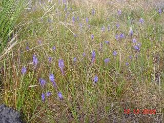 Micranthus plantagineus