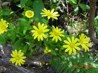 Osteospermum ilicifolium