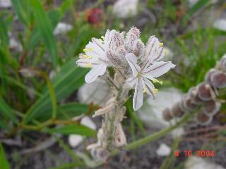 Trachyandra hirsutiflora