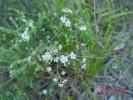 Pharnaceum elongatum