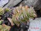 Crassula rupestris subsp. rupestris