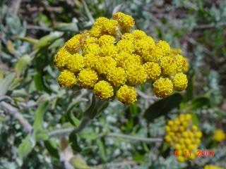 Helichrysum dasyanthum