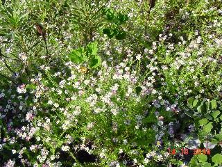 Thaminophyllum latifolium