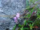 Indigofera angustifolia var. tenuifolia