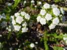 Phylica ericoides