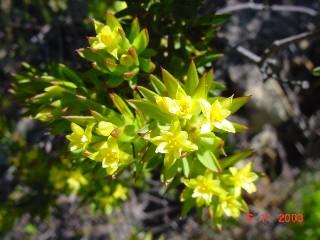 Gnidia juniperifolia