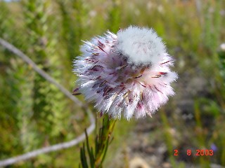 Serruria heterophylla