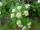 Phylica buxifolia