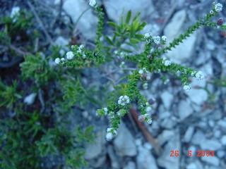 Phylica humilis