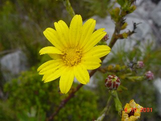 Osteospermum junceum