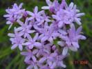Corymbium africanum subsp. scabridum var. gramineum