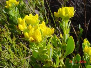 Rafnia capensis subsp. pedicellata