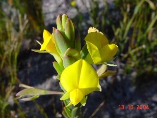 Rafnia crassifolia