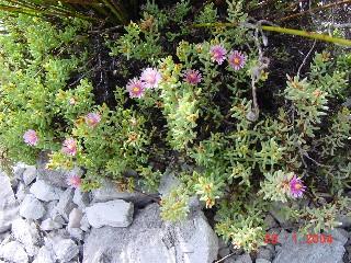 Lampranthus glomeratus