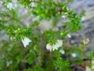 Erica capillaris