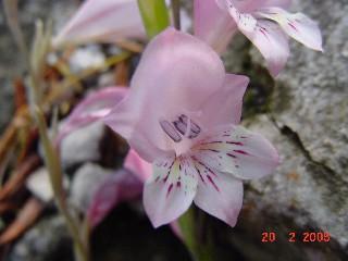 Gladiolus martleyi