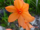 Watsonia stenosiphon