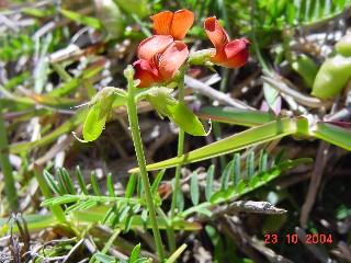 Lessertia capensis