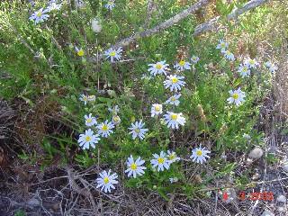 Felicia aethiopica subsp. aethiopica
