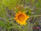 Oedera capensis