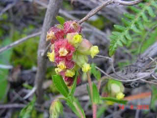 Hermannia rudis
