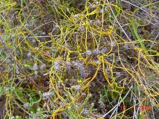 Cassytha ciliolata