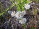 Agathosma ciliaris