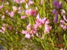 Erica corifolia  var. corifolia