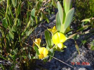 Liparia angustifolia