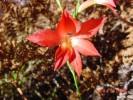 Gladiolus priorii