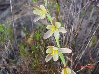 Hesperantha radiata subsp. caricina