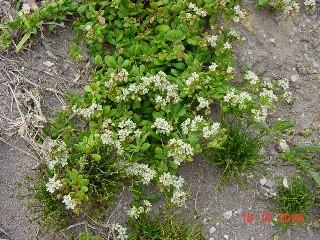 Pharnaceum cordifolium