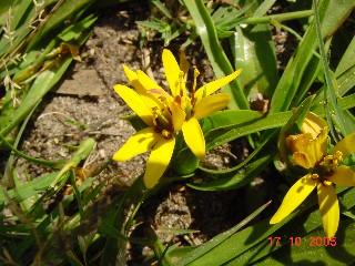 Baeometra uniflora