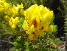 Cyclopia genistoides var. genistoides