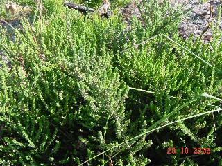 Aspalathus hispida subsp. hispida