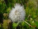 Stilbe albiflora