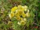 Helichrysum foetidum
