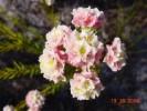 Lachnaea densiflora