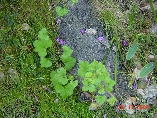 Pelargonium elongatum