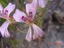 Pelargonium longifolium