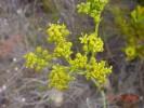 Lichtensteinia trifida var. trifida