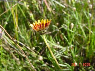 Ursinia tenuifolia subsp. tenuifolia