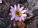 Mairia coriacea