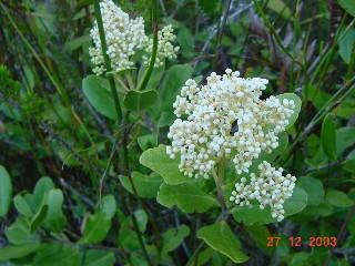Olea capensis subsp. capensis