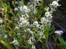 Grubbia rosmarinifolia subsp. rosmarinifolia
